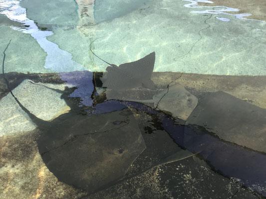 Gold Coast - Sea World Ray Reef エイに餌をやることもできます