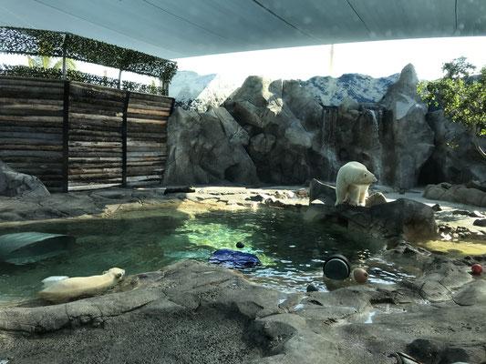 Gold Coast - Sea World Polar Bear 白熊の親子を見ることができました