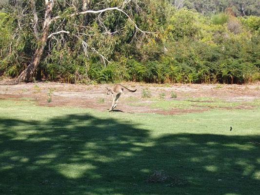 Cohunu Kala Park - カンガルーたちも園内で放し飼いにされています。