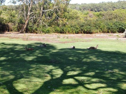 Cohunu Kala Park - コフヌ・コアラパークは地元オーストラリア人にも大人気の自然動物公園です。