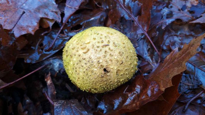 December 2019 004 Gele aardappelbovist (Scleroderma citrinum)