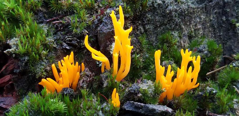 okt 2020 111  Kleverig koraalzwammetje (Calocera viscosa)
