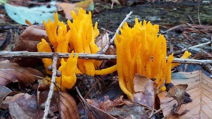 Sep 2019 299 Kleverige koraalzwammetje (Calocera viscosa)