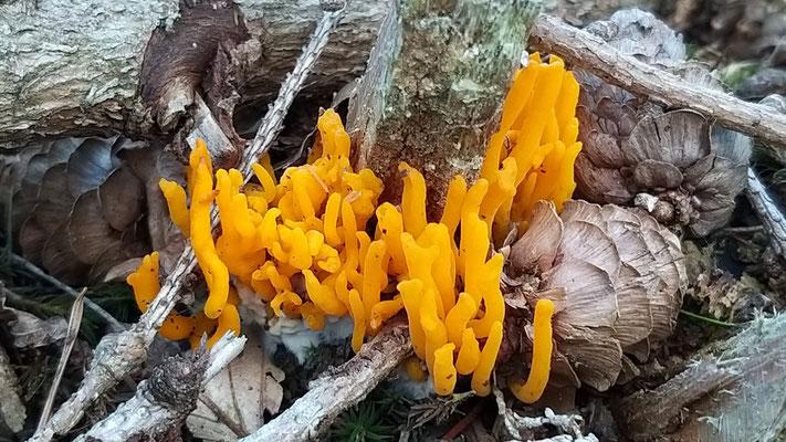 Sep 2019 057 Kleverige koraalzwammetje (Calocera viscosa)