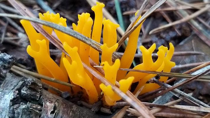 Okt 2019 141 Kleverige koraalzwam (Calocera viscosa)