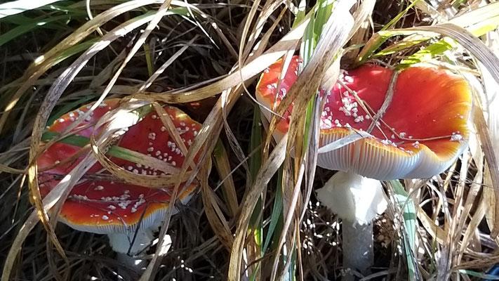 Okt 2019 087 Vliegenzwam (Amanita muscaria)
