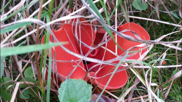 Okt 2019 157 Grote oranje Bekerzwam (Aleuria aurantia)