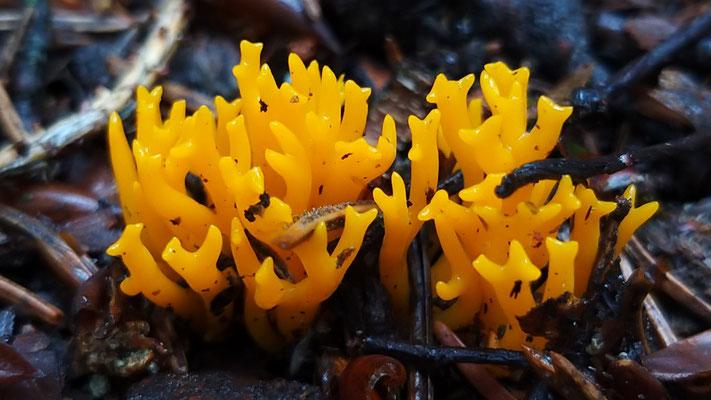 Aug 2019 036 Kleverige koraalzwammetjes (Calocera viscosa)