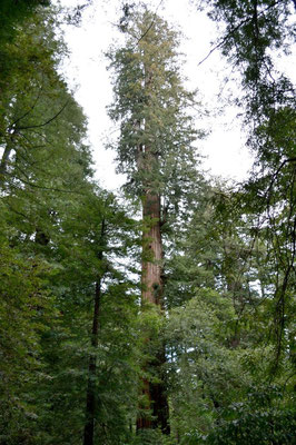 Father of the Forest, einer der größten Bäume des Waldes