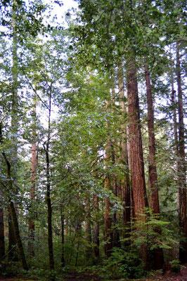 Kleinere Küstenmammutbäume
