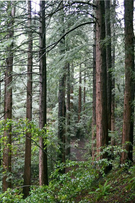 Küstenmammutbäume im Muir Woods National Monument
