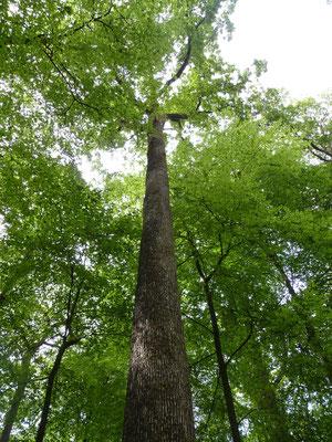 Les chênes de la forêt de Bercé