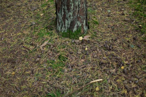 Waldboden unter einem Nadelbaum
