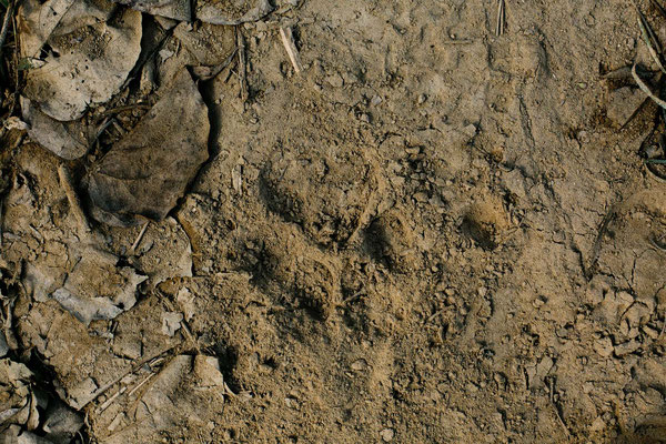 Signs of a tiger, Chitwan National Park, Nepal