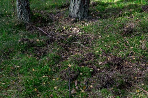 Aufgewühlter Waldboden, Beleg für die Anwesenheit von Wildschweinen?