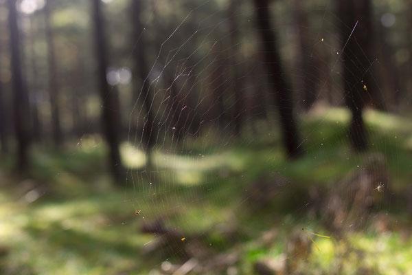 Spinnennetz, Beleg für Abwesenheit von Wildschweinen?