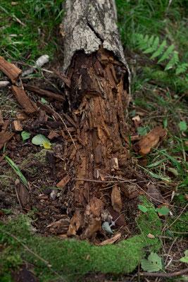 Abgeschabter Baumstamm, Beleg für die Anwesenheit von Wildschweinen?