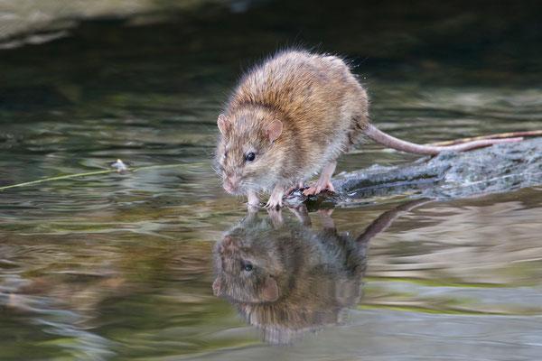 Ratte, per Zufall beim Wasservögel fotografieren entdeckt