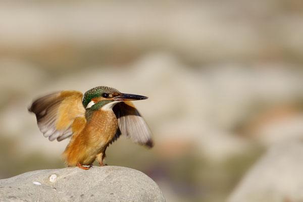 Eisvogel (weibl.)