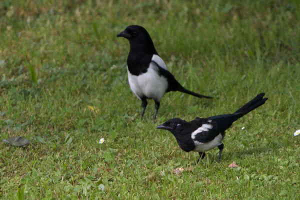 Altvogel mit Nachwuchs