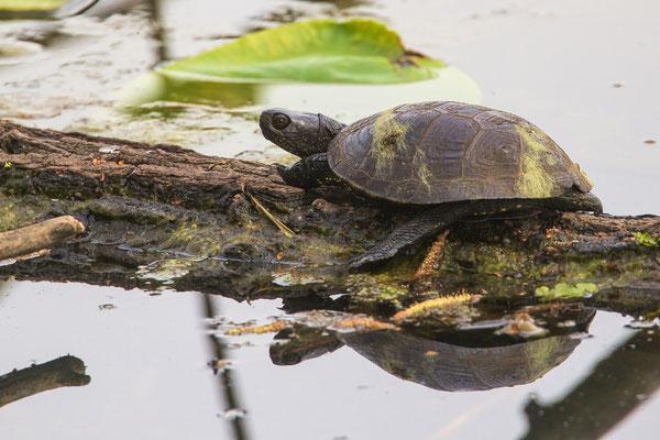 wildlebende europäische Sumpfschildkröte