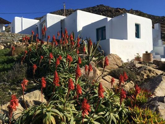 Aloe in wintertime