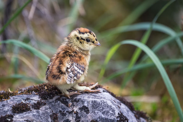 Little Grouse Chick
