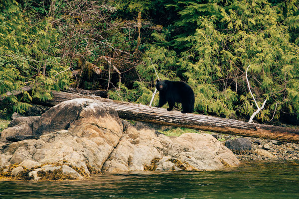 bear watching on Vancouver Island