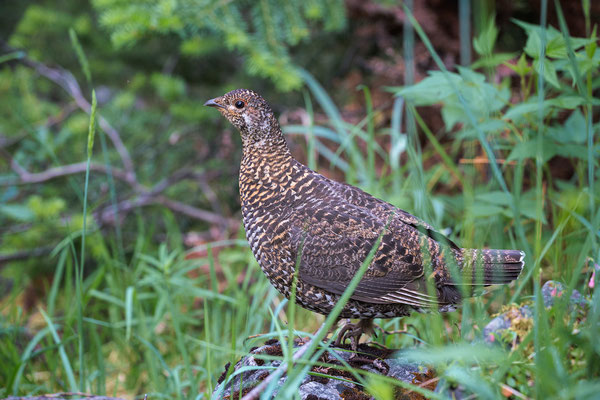 Female Grouse on the trail