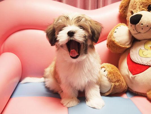 ハバニーズ ブリリアントハバニーズ 子犬