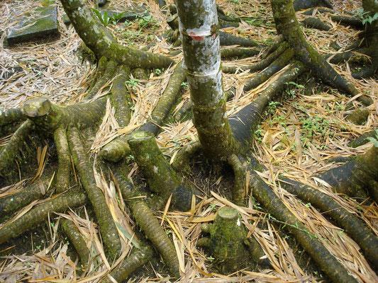 Sistema rizomárico (raícez) descubierto de capa de tierra. Centro Nacional de Estudio para el Bambú Guadua. Córdoba, Quindío, Colombia