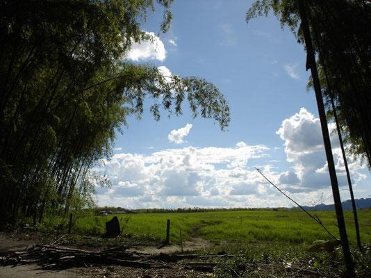 Vista desde un guadual en el Quindío, Colombia