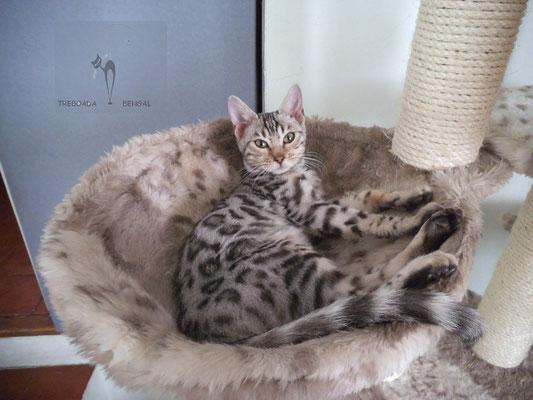 Nuestra silver bengal o nuestra gata bengali de plata,La Kalessi de plata.