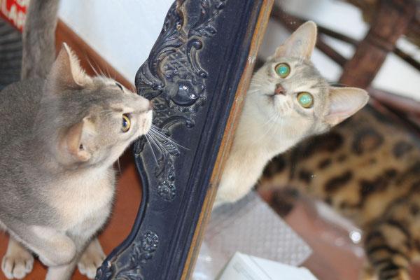 La compañera de nuestros gatos bengalies, nuestra abisinia Aby