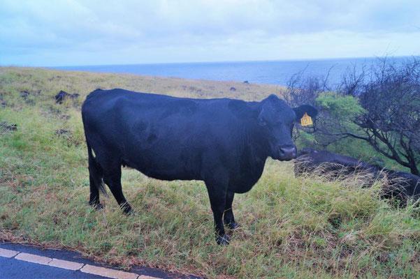 Irische Kerrygold Kuh, Maui