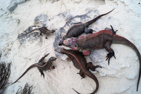 Iguana Island,Bahamas