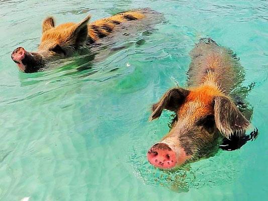 Pig Beach, Exuma Cays