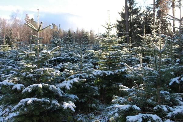 Hier wachsen unsere Harzer Weihnachtsbäume zum selber schlagen. Harzer Tanne