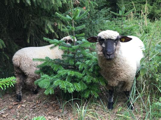 Lotta und Hilde waren unsere ersten Shropshire-Lämmer. Harzer Tanne