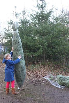 Der Traum-Baum wird professionell verpackt für den Transport nach Hause. Harzer Tanne