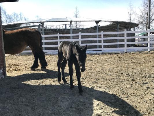 帯広空港隣のばんえい牧場十勝にて。アオノレクサス唯一残せた牡馬。ハクバオウジの甥っ子になります