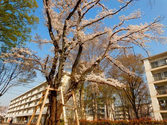 友人宅近くの存在感ある大きな桜