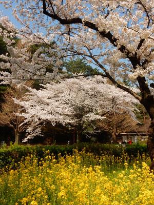 国立学園通りの桜たち