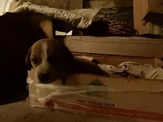 うちに連れてきて4日目。生後1ヶ月弱。ミルクの箱が寝床でした。