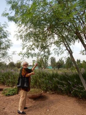 葉、実、種、根全て食用にでき、栄養価も高くて奇跡の植物と呼ばれるモリンガ(ワサビの木)