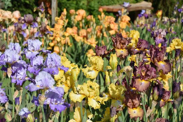 11.06.2021 Bartiris Sämlinge - Tall bearded iris seedlings