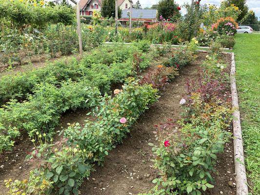 14.08.2020 - Unser Rosen-Versuchsfeld / Our rose trial beds