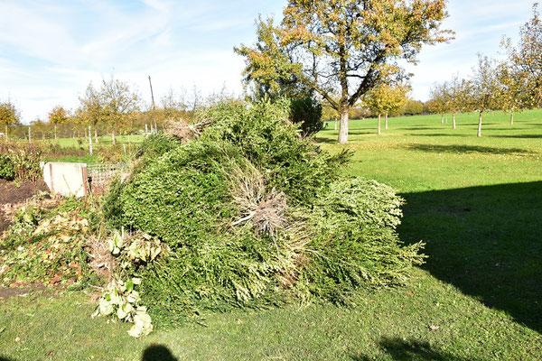 02.11.2020 - Buchs Entfernung - Boxwood removal