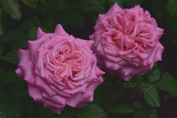 09.06.2020 - Rose 'Delphine' ('Ashley')