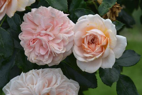19.08.2020 - Rose 'Garden of Roses'
